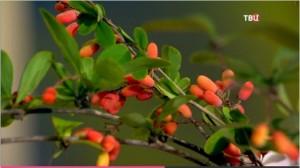 Настой из листьев барбариса – для полосканий при воспалении дёсен