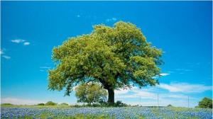Дуб – священное дерево-долгожитель