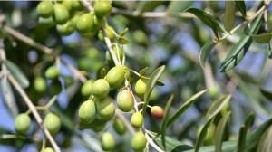 Из плодов оливкового дерева изготавливают оливковое масло
