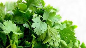 У кинзы ароматная кружевная зелень