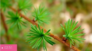 Хвоя лиственницы поможет от сильного кашля