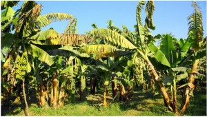 Бананы – это трава