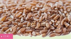 Полба – прародительница пшеницы