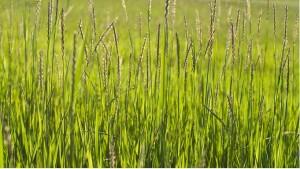 Лечебная трава