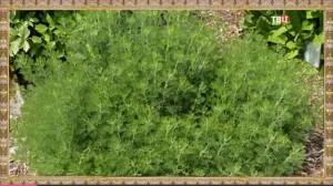 Полынь – лесной ладан