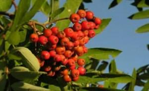 Лечебная рябина красная – до заморозков