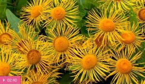Девясил – желудочное растение