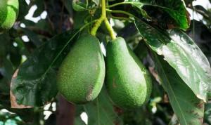 Авокадо – от атеросклероза