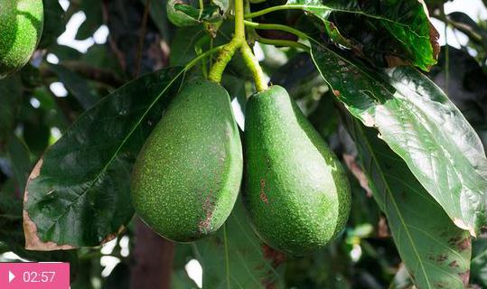 Авокадо – для похудения