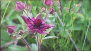 Пурпурный цветок сабельника