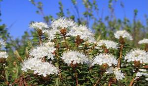 Цветы багульника – защита от вирусов