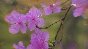 Цветки багульника часто называют сибирской сакурой