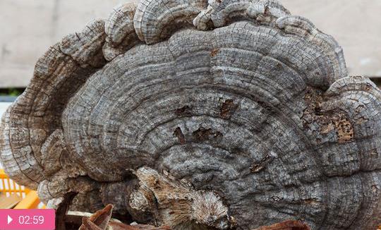 Чага – древесный лекарь человека