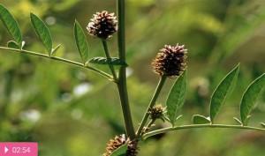 Лакричное растение