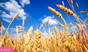 Пшеница – для здоровья
