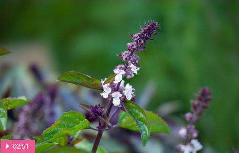 Базилик – природный антибиотик и антидепрессант
