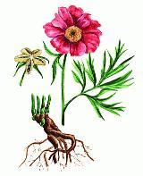 Марьин корень (пион уклоняющийся)