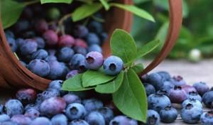 Голубика – священная ягода
