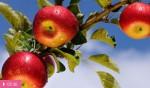 Яблоки – лекарство от болезней