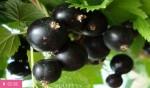 Лекарство из черной смородины