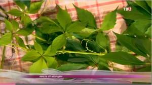 Хмель – красивое вьющееся растение, используется в медицине
