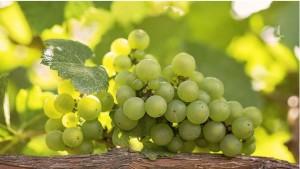 Виноград – природный источник энергии