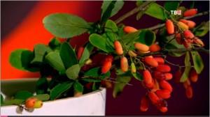 Барбарис – молодильная ягода
