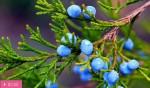 Можжевельник из всех деревьев наиболее богат фитонцидами