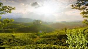 Родиной кардамона считатся Индия и остров Цейлон