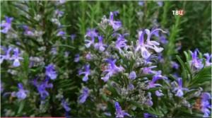 Цветы розмарина