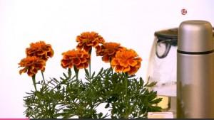 Красно-коричневые цветки бархатцев богаты провитамином А
