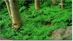 Папортник – самое древнее растение на Земле