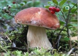 Белый гриб – для омоложения кожи