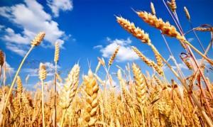 Пшеница – при диабете?