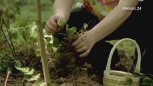 Для лечебных целей собирают и листья, и корни земляники