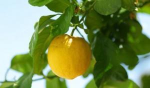 Лимон – простое средство от мигрени