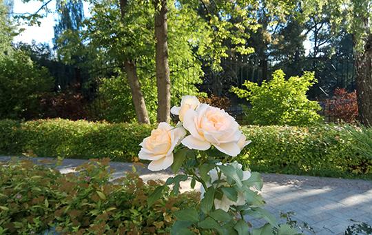 Розы у храма – Спаси и сохрани!