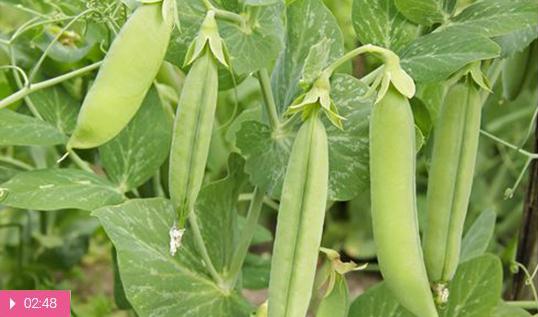 Лечебные свойства зеленого горошка