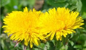 Одуванчик – средство от холецистита