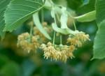 Цветки липы