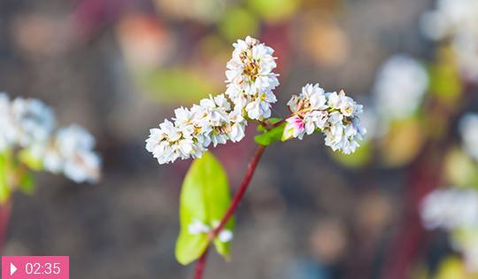 Цветки гречихи – средство продлить молодость